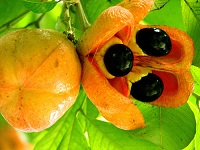 ¿Conoces la fruta nacional de Jamaica?