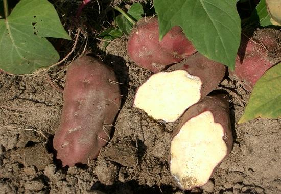Aljezur, la tierra de la batata dulce